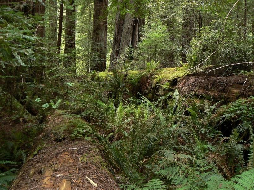 Coastal Redwood Green Forest